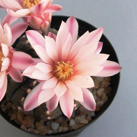 Sany0118--ragonesei f roseiflorum--Jecminek seed