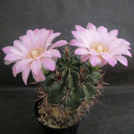 Sany0184--horridispinum--Mesa seed 468.7