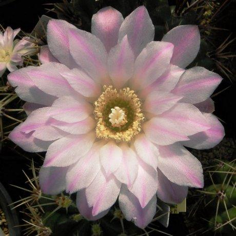 Sany0182--horridispinum--Mesa seed
