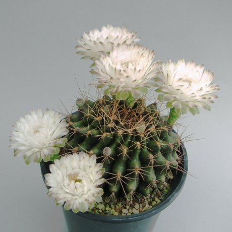 Sany0186--anisitsii taryou tabenka--mesa seed or