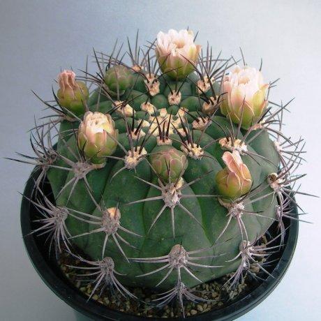 Sany0033--saglionis fa longispinum--Piltz seed 3813