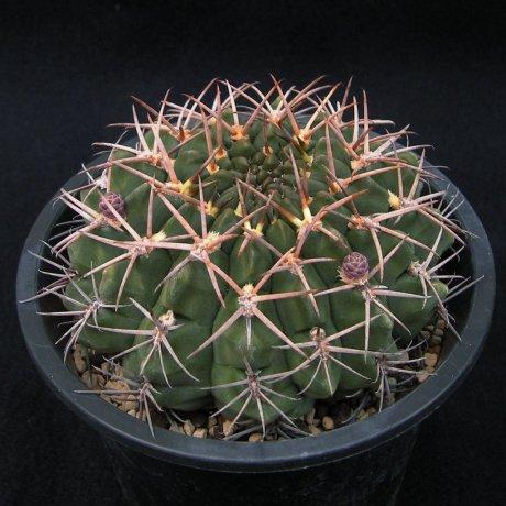 Sany0129--hamatuum--FR 819--Mesa seed 468.6