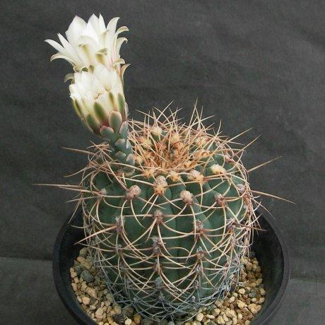 Sany0053--ochoterenae v herbsthoferianum--LB 386--Bercht seeed