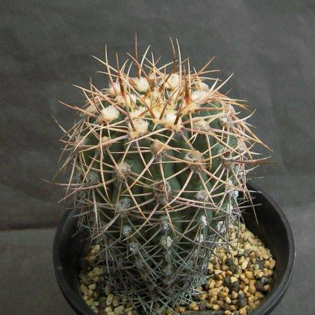 Sany0060--ochoterenae v herbsthoferianum--LB 386--Mesa seed 476.943--ex Kousen en
