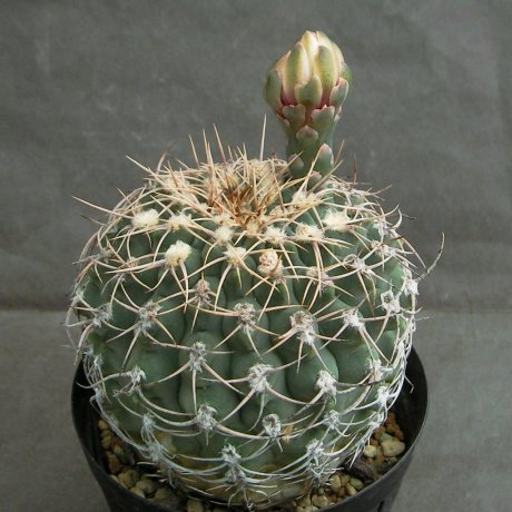 Sany0058--ochoterenae v herbsthoferianum--GN 100-252--Oiltz seed 3524