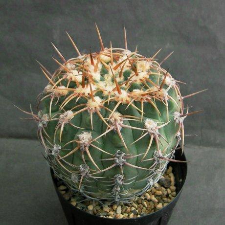 Sany0055--ocjoterenae v herbsthoferianum--Koehres seed--ex Kousen en