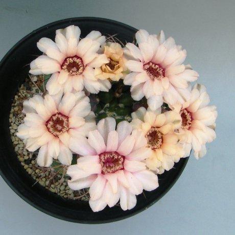 Sany0047--zegarrae saipinense--succeed seed