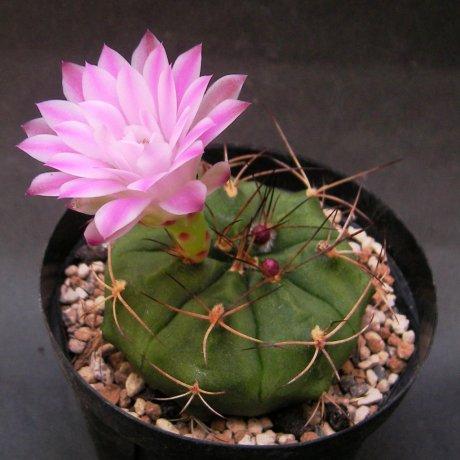 SANY0095 --damsii ssp evae v boosii --VoS 08-321--E of Chocis Santa Cruz 354m Bolivia--VoS seed