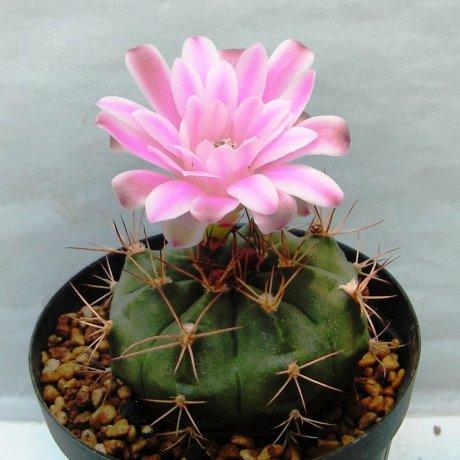 Sany0155--damsii ssp evae v boosii--VoS 042--Chochis - Limencito Bolivia--Piltz seed 5945