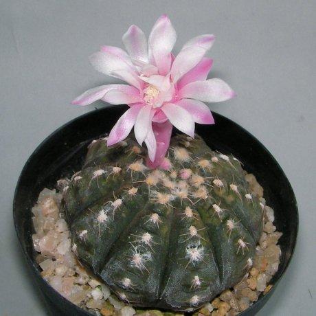 Sany0076-ragonesei f roseiflorum--Jecminek seed X-2780A