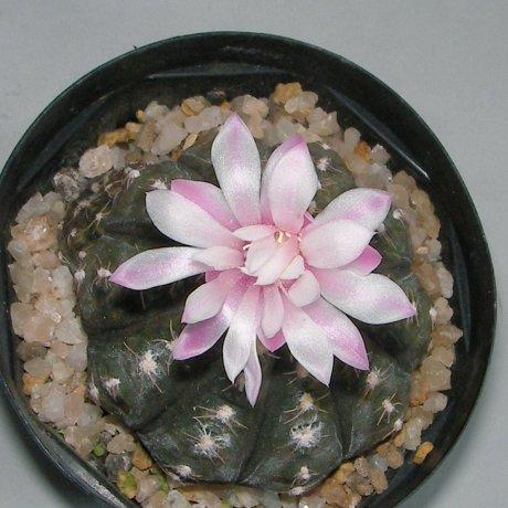 Sany0078--ragonesei f roseiflorum--Jecminek seed