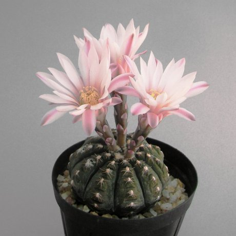 Sany0119--ragonesei f roseiflorum--Jecminek seed