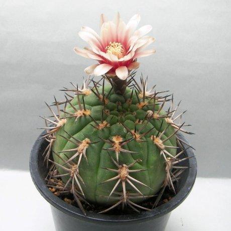 Sany0189--catamarcense f belense--VS 64--Cuesta de Belen catamarca 1200m--Mesa seed 460.87
