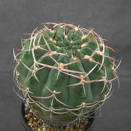 SANY0101--catamarcenes fa ensispinum--OF 27-80--Las Chilcas, Catamarca, Arg--Piltz seed 2645
