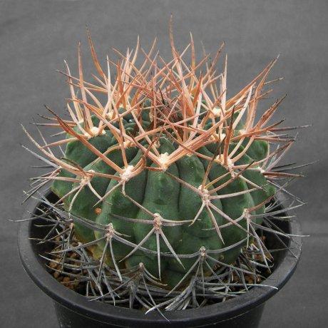 Sany0093--catamarcense ssp acinacispinum--STO 045--ex Milena
