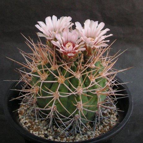 Sany0149--mazanense v polycepharum--P 223--Piltz seed 4310