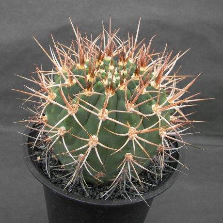 Sany0104-mazanense v polycepharum--p 223--Piltz seed 4310