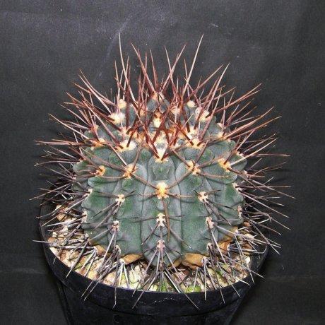 Sany0154--ochoterenae v scoparium--LB 381--Dique de Quines SL--Bercht seed