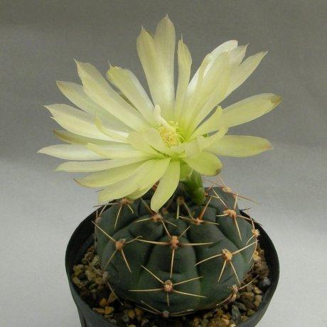 Sany0022c--uruguayense v melancarpum--LB 2700--Bercht seed 3110(2010)