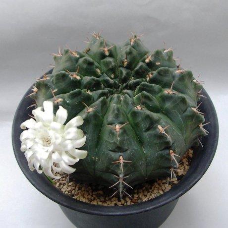 Sany0082 (2)--rotundicarpum--Piltz seed 3293
