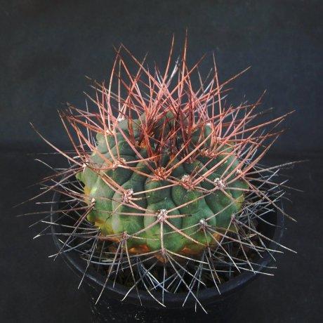 Sany0178--rhodantherum--VS 41--Guandacol Sierra Famatina , La Rioja, 1200m--Piltz seed 5213