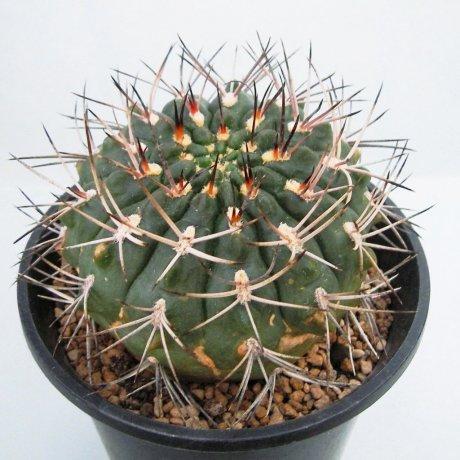 Sany0039--rhodantherum-southern Famatina LR--Piltz seed.3552