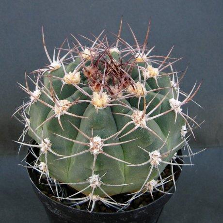 Sany0045--nigriareolatum--LB 1235--R1 10km N of Las Pirquitas Catamarca--ex Eden 14393