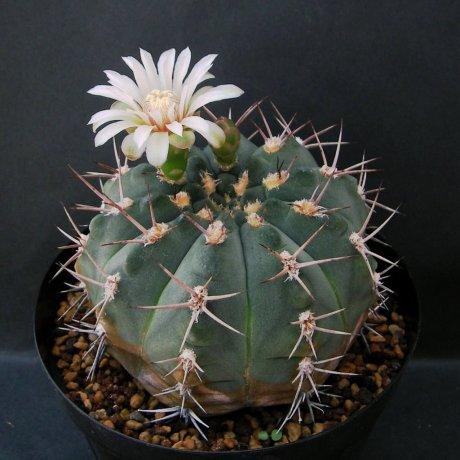 Sany0007--nigriareolatum var--P 130--Cuesta de Potezuelo, Catamarca, Arg. 900-1500m--Piltz seed