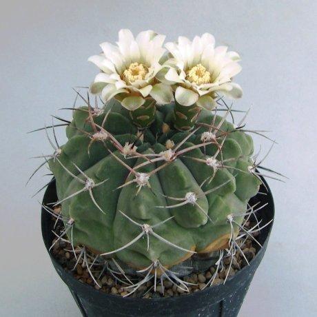 Sany0073--nigriareolatum var--P 159--Palo Labrado, Catamarca, Arg. 700m--Piltz seed