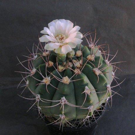 Sany0080--nigriareolatum v simoi--P 161--South of Palo Labrado, Catamarca,Arg. 800m --ex Eden 13560