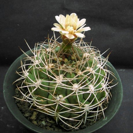Sany0230-nigriareolatum.v.densispinum-P24--Deque de Catamarca Ctamaeca 600-800m--Houmeien