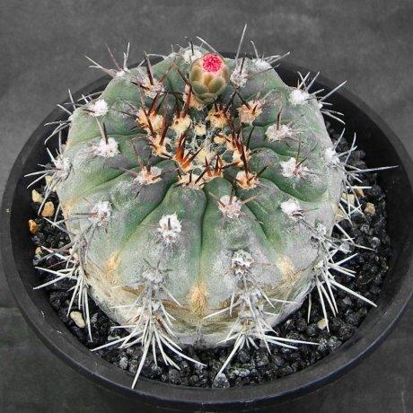 Sany0170--glaucum--Mesa seed 468.3