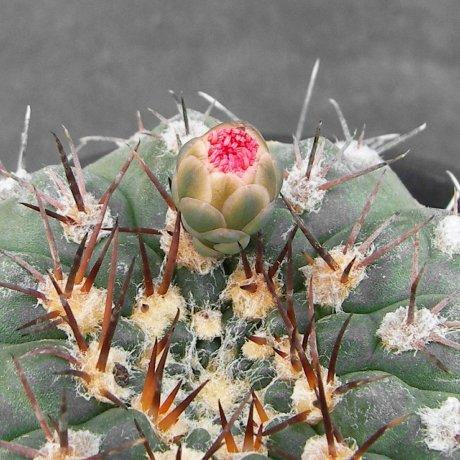 Sany0171--glaucum--Mesa seed 468.3