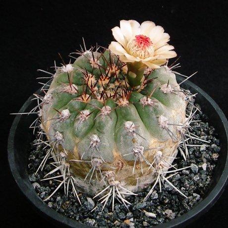Sany0048--glaucum--mesa seed 468.3