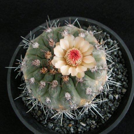 Sany0050--glaucum--mesa seed 468.3