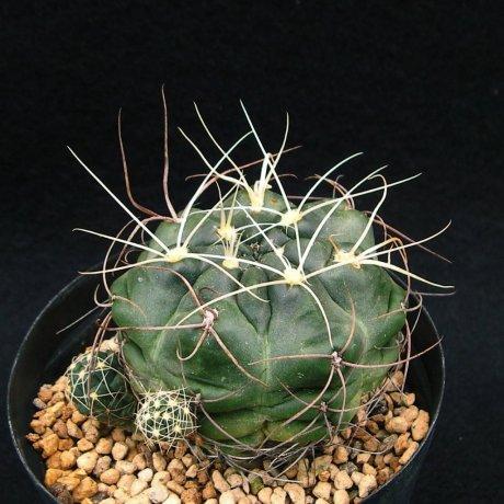 Sany0119--andreae v longispinum--Piltz seed 5458