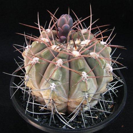 Sany0088--mucidum--P 36A--Piltz seed