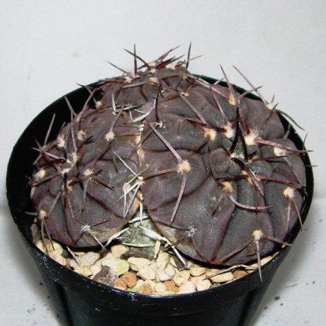 Sany0016--bodenbenderianum--STO 87-010--Piltz seed 3523--ex Milena