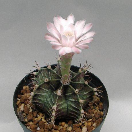 Sany0020--friedrichii--LB 3054--Bercht seed 2572(2012)