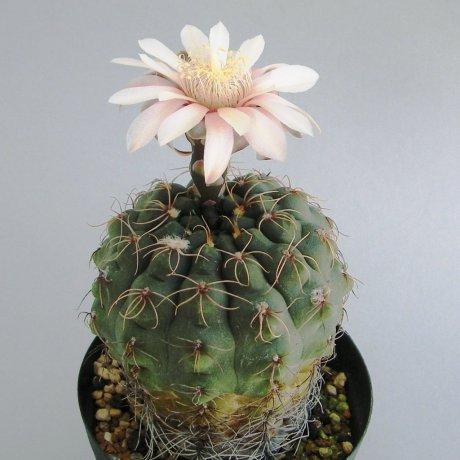 Sany0150--uebelmannianum--R 141--Mesa seed 491,42