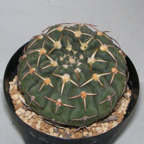 Sany0044--riojense ssp kozelskianum--Tom 06-40-1--Patquia - Paganzo LR--ex Milena