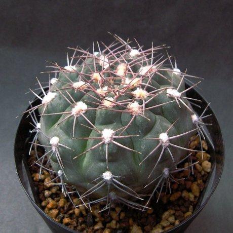 Sany0184--alboareolatum--LB 1296--Pilltz seed 3164