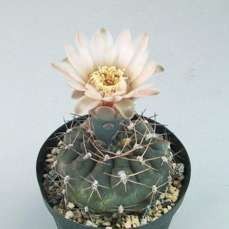 Sany0048--alboareolatum v ramosum--VS 58--Piltz seed 5199--ex milena