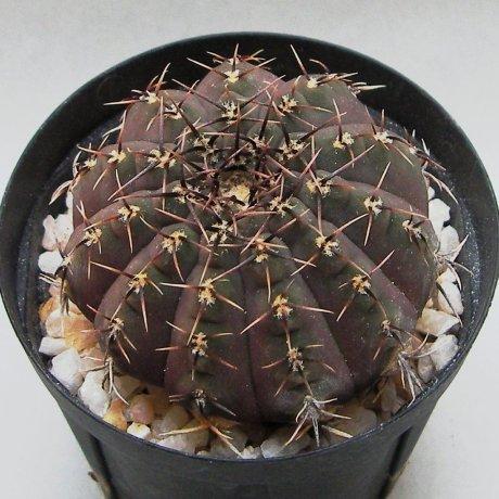 Sany0074--ocltum--P 131b--Mesa seed 476.62