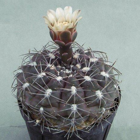 Sany0023--alboareolatum--P 382A--Piltz seed