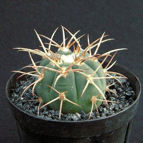 Sany0082--cardenasianum--JO 193--Carrizal Bolivia--Mesa seed 460.05