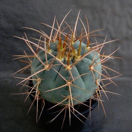 Sany0139--armatum--JO 974.2--Paichu Centro--Bercht seed (2012)