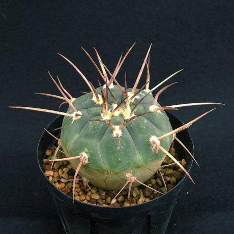 Sany0133--armatum--HTH 105--Piltz seed 5811