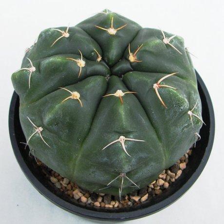 Sany0195--paraguayense--ex Moser K--piltz seed 1286