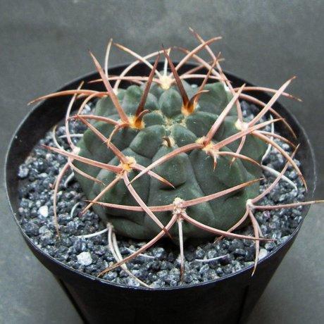 Sany0009--castellanosii v rigidum--Tama LR--Mesa seed 460.82